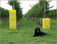 Chatham Dog
